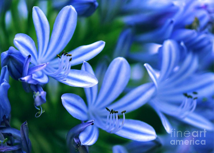 Blue Lily Of The Nile Photograph