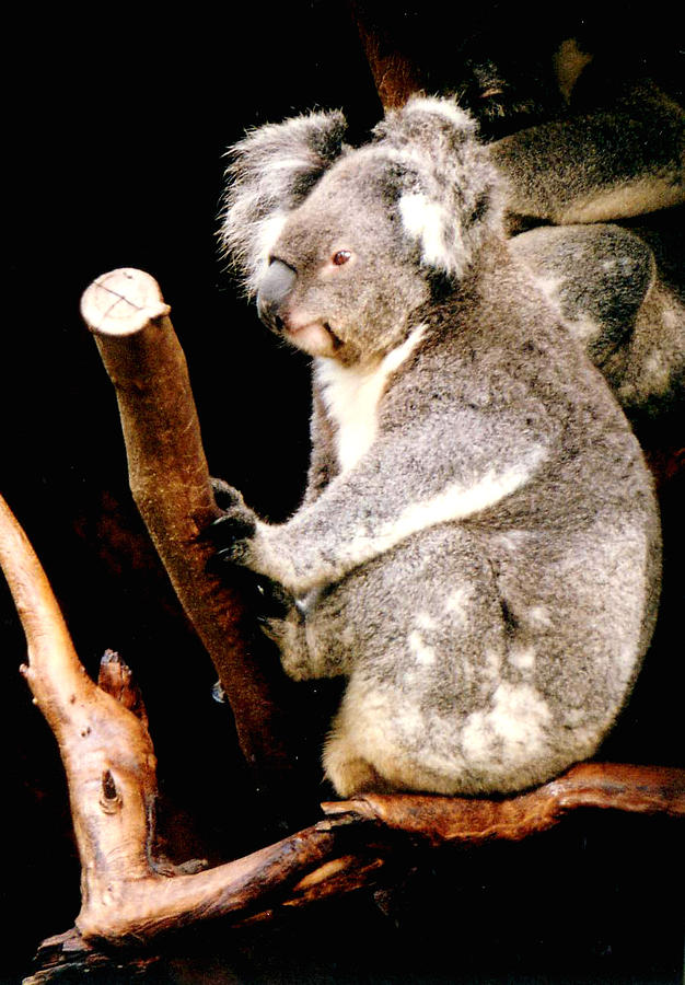 Blue Mountains Koala Photograph