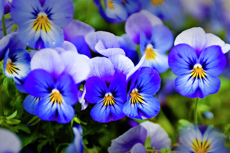 Blue Pansies Photograph