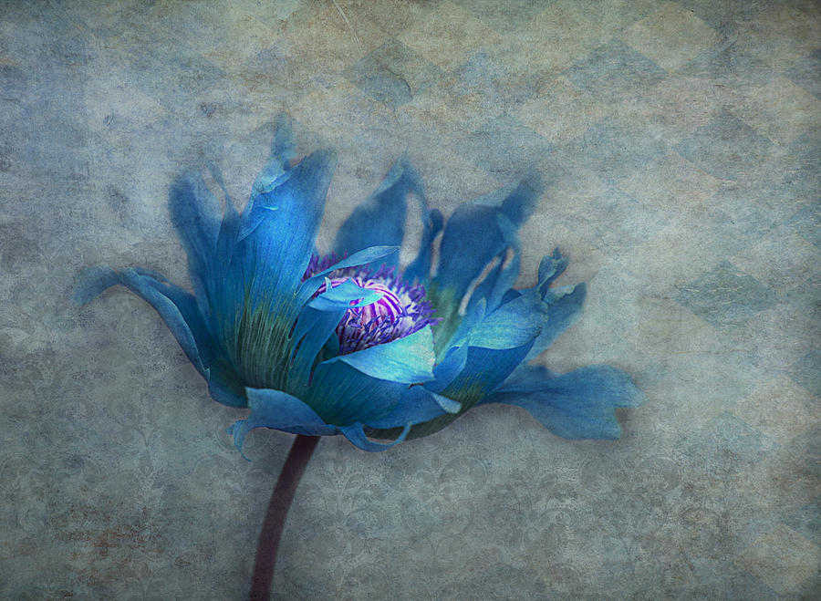 Blue Papaver Photograph  - Blue Papaver Fine Art Print