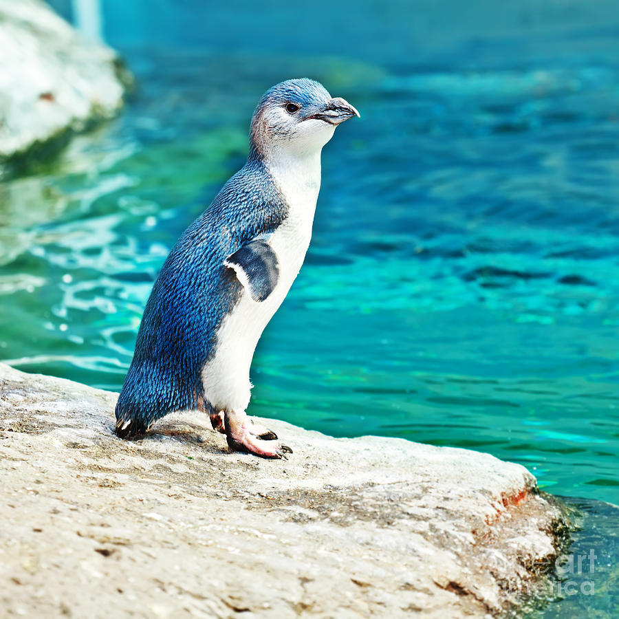 blue-penguin-mothaibaphoto-prints.jpg