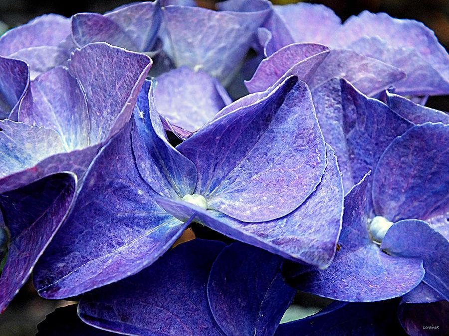 Blue Petals Photograph