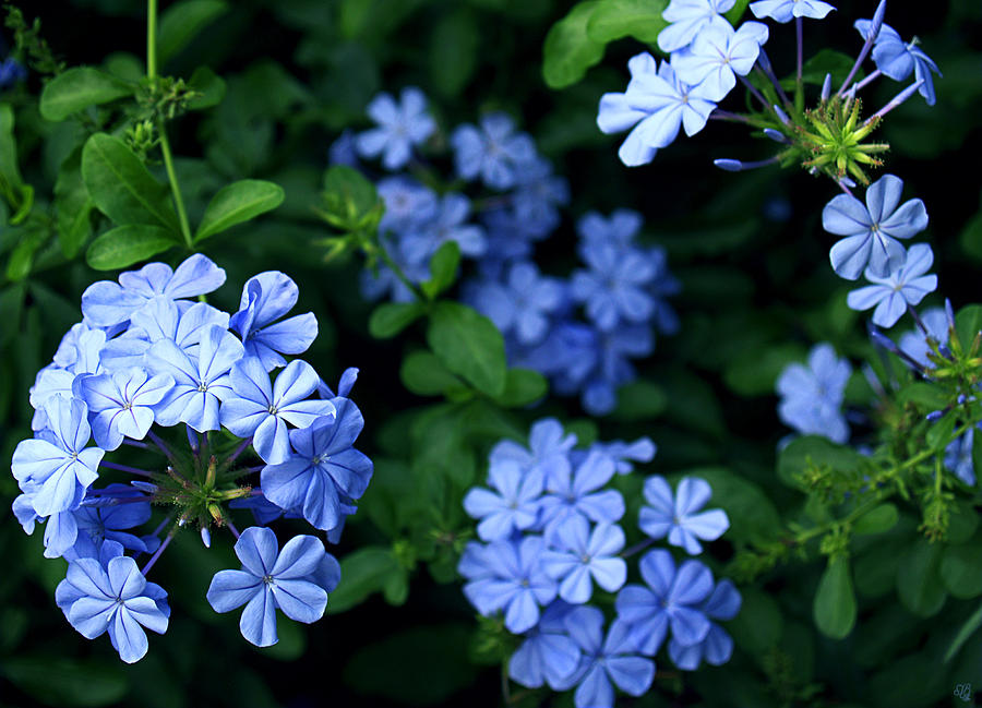 Blue Plumbago Photograph By Barbara Middleton