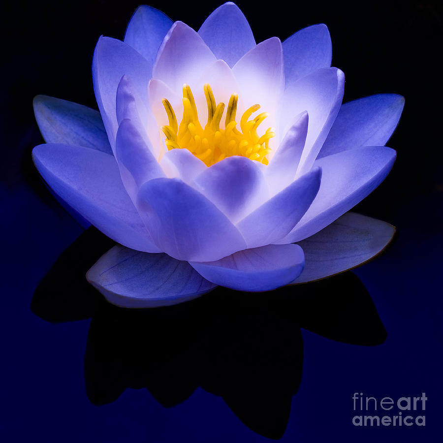 Blue reflections of a white water lily by irene abdou