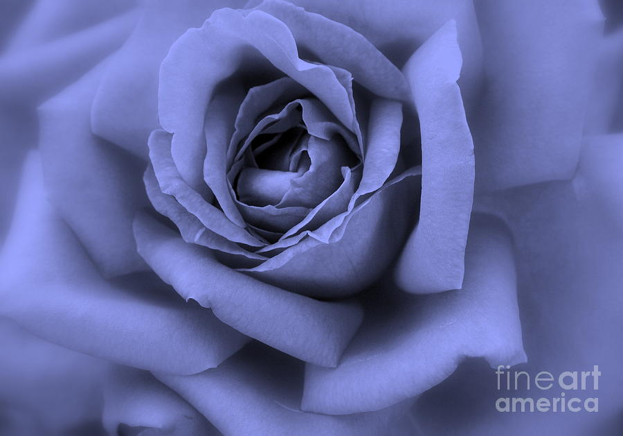 Blue Rose Abstract Photograph  - Blue Rose Abstract Fine Art Print