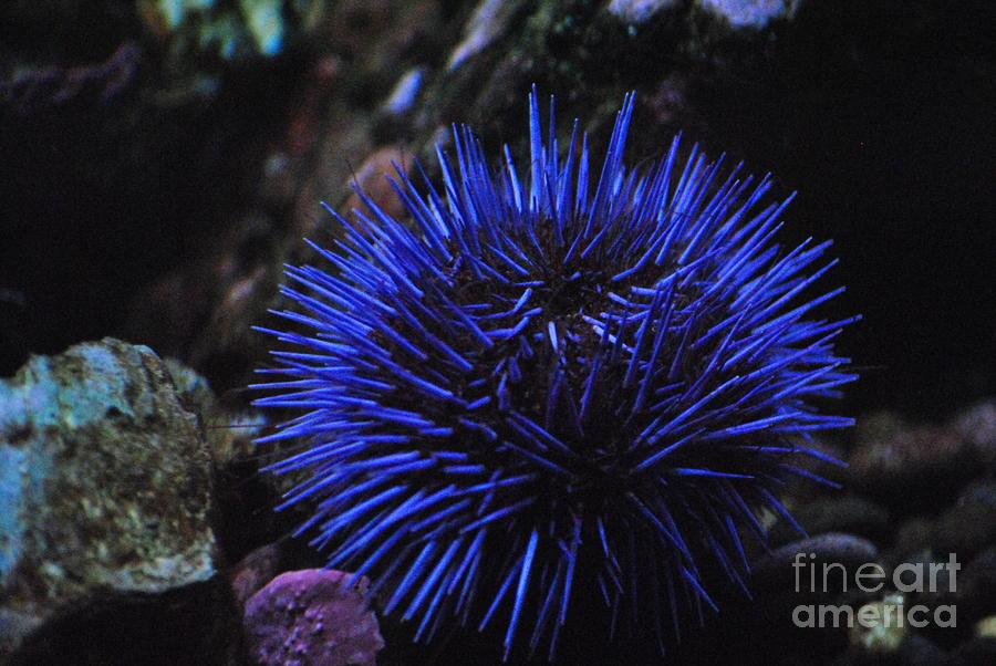 blue sea urchin by frank larkin