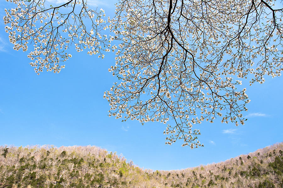 Blue Skies And Dogwood Photograph  - Blue Skies And Dogwood Fine Art Print