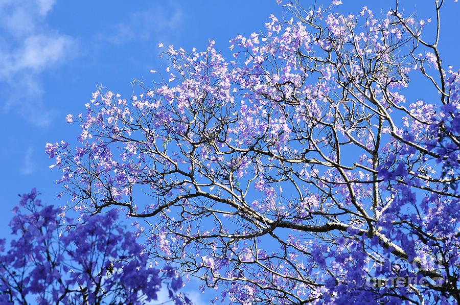 trees with blue blossom. Black Bedroom Furniture Sets. Home Design Ideas