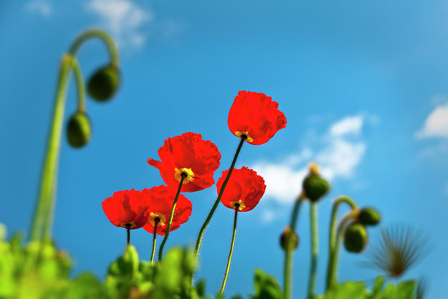 Blue Sky And Poppies Photograph