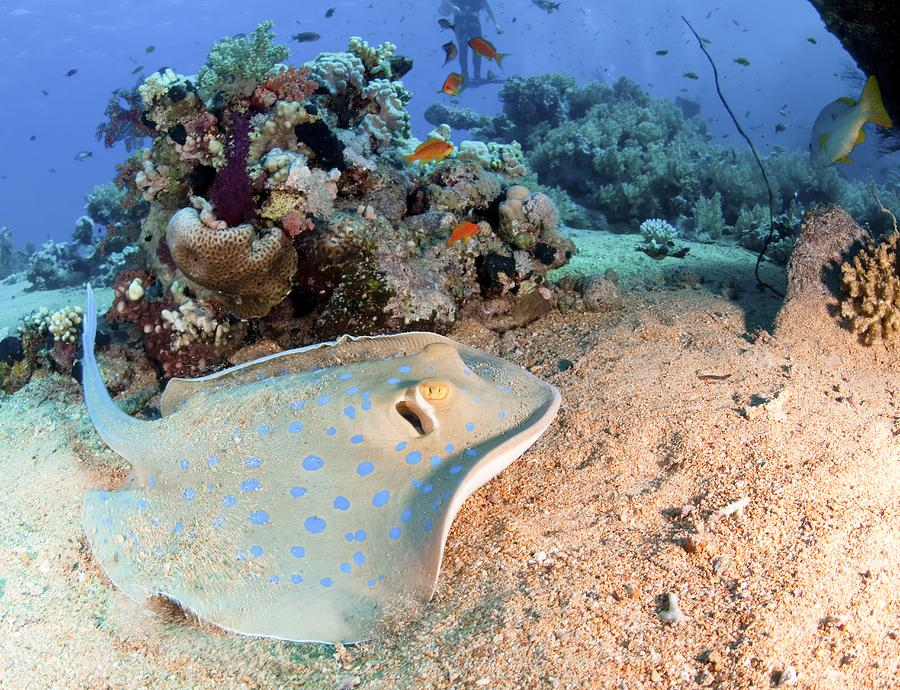 Blue-spotted Stingray Photograph