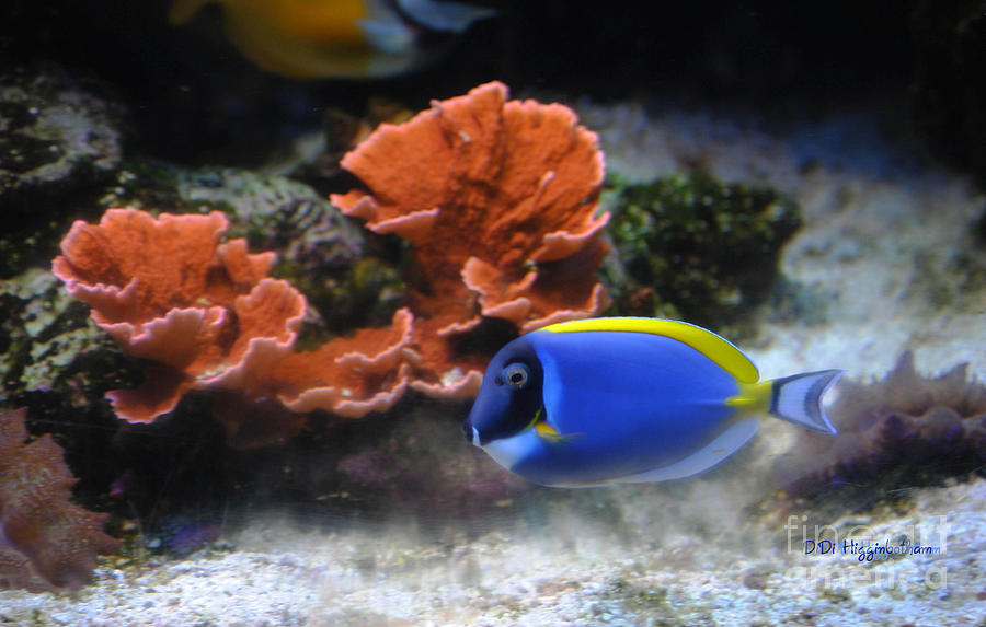 Blue Tang And Coral Photograph