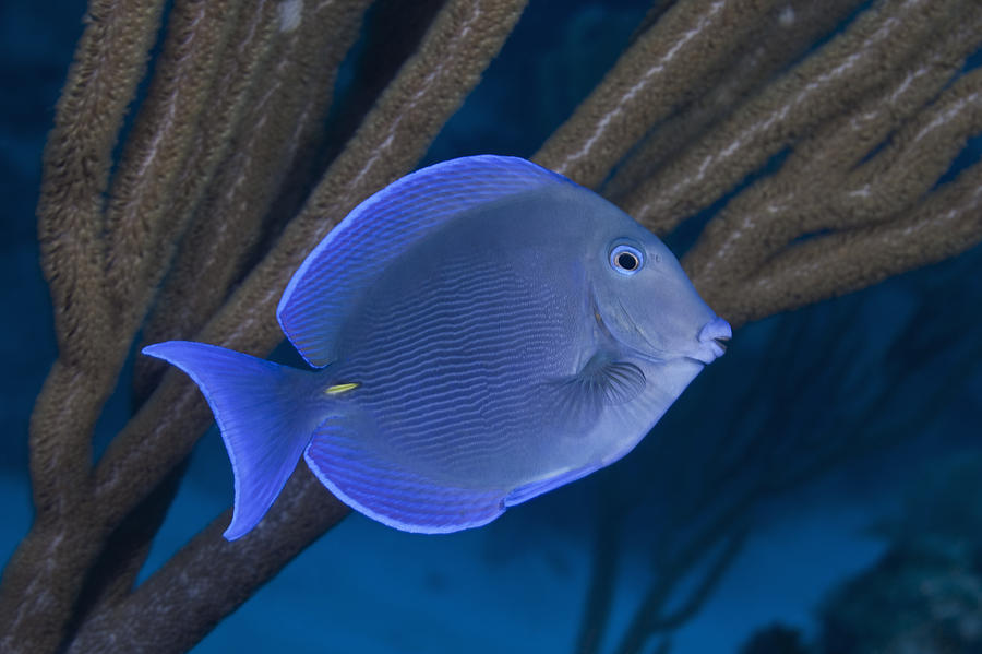 Blue tang fish swimming on tropical coral reef for Fish swimming backwards