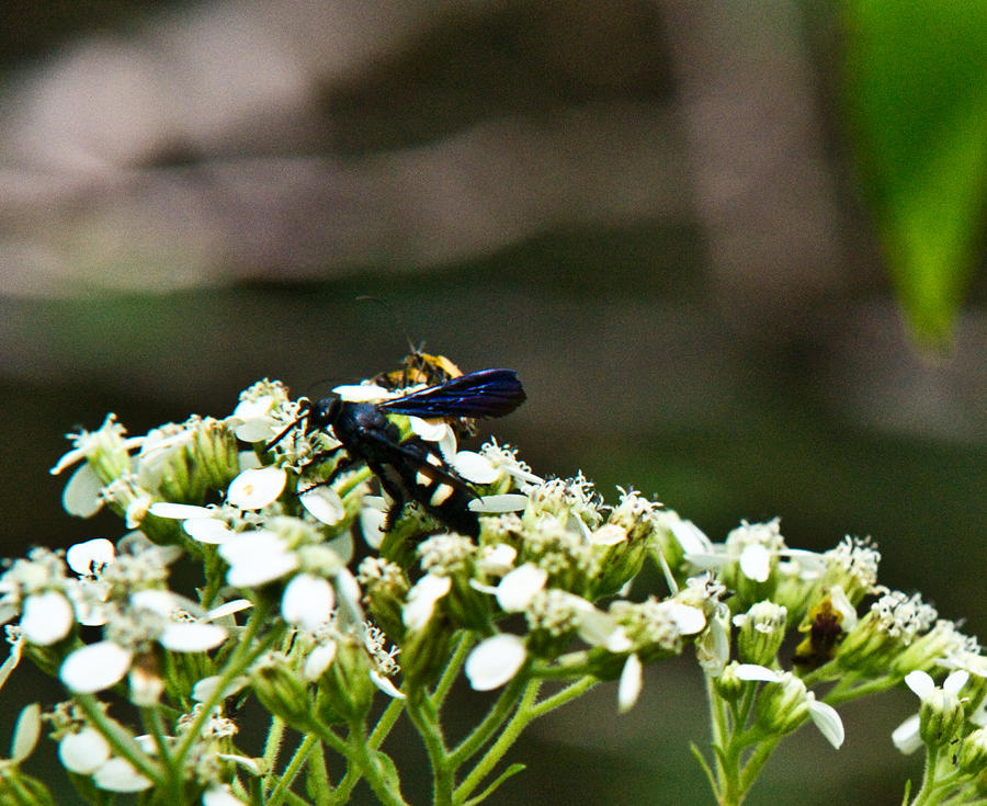 Blue Wasp 2 Photograph  - Blue Wasp 2 Fine Art Print