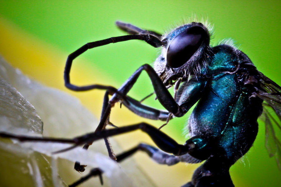 Blue Wasp On Fruit Photograph