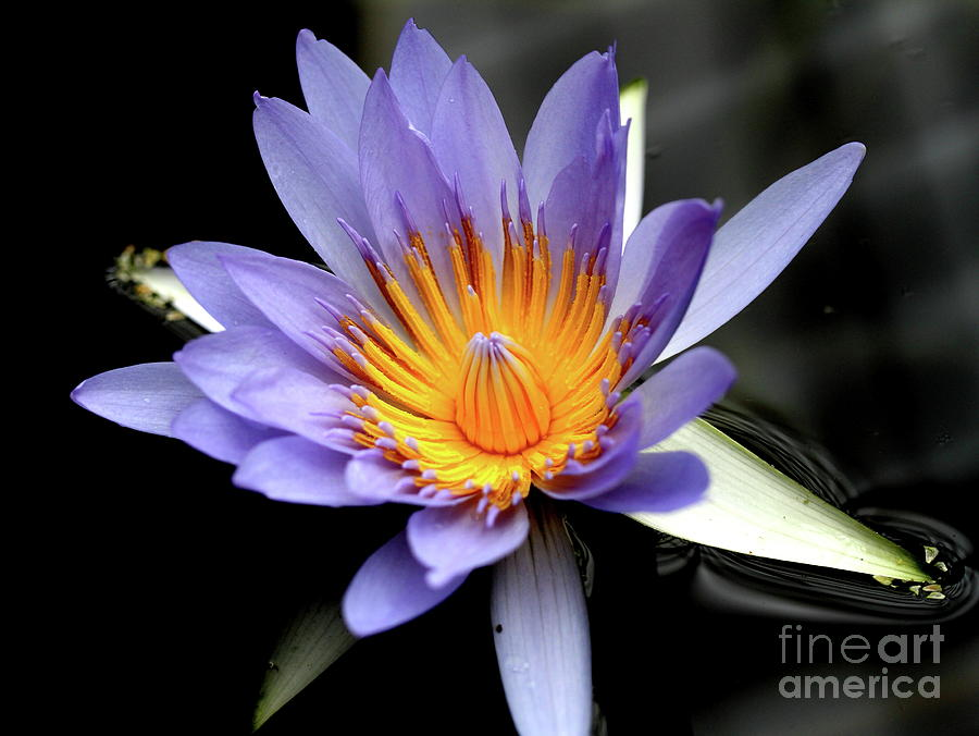 Blue Water Lily Pond Flower . 7d5726 Photograph