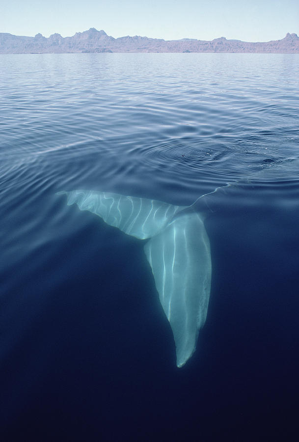 Blue whale underwater - photo#22