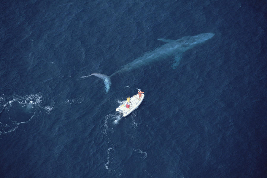 Blue Whale With Research Boat Santa Photograph by Flip Nicklin
