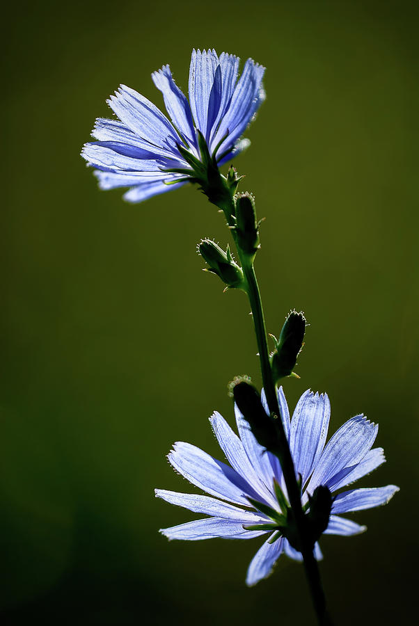Blue Wildflower Photograph  - Blue Wildflower Fine Art Print