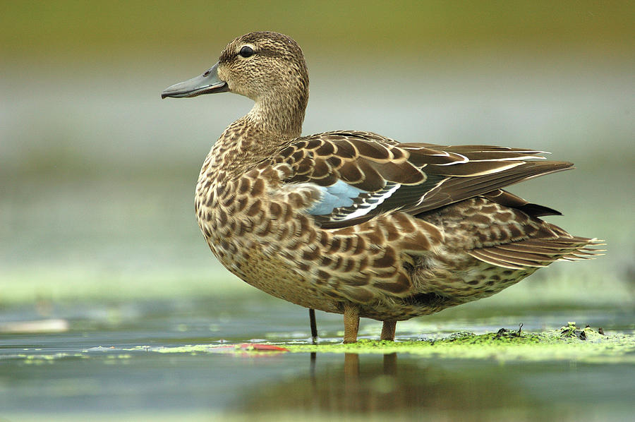 Blue-winged Teal Anas Discors Female is a photograph by Scott Leslie ...