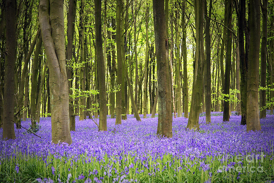 Bluebell Carpet Photograph  - Bluebell Carpet Fine Art Print