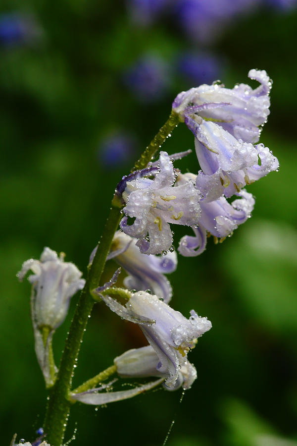 Bluebell Jewels Photograph