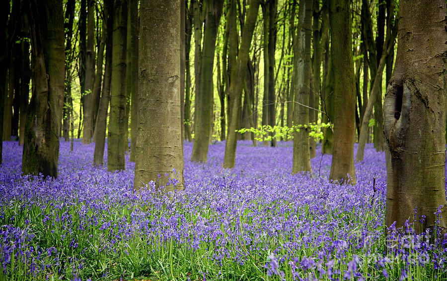 Bluebells Photograph  - Bluebells Fine Art Print