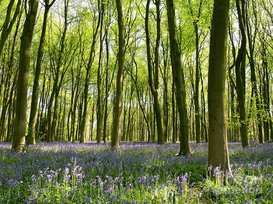 Bluebells Of Micheldever Wood Photograph  - Bluebells Of Micheldever Wood Fine Art Print