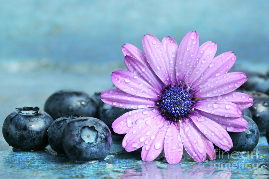 Blueberries And Daisy Photograph