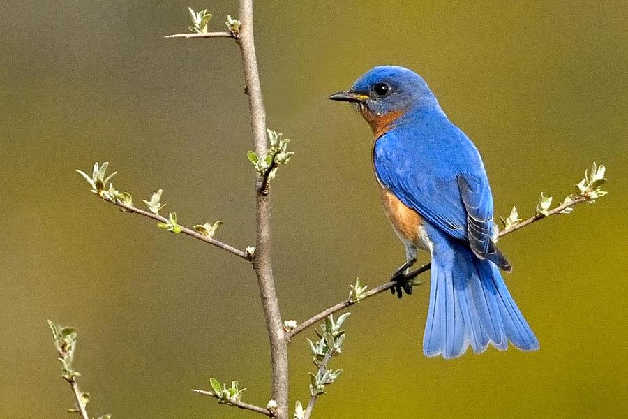 Bluebird Bliss Photograph