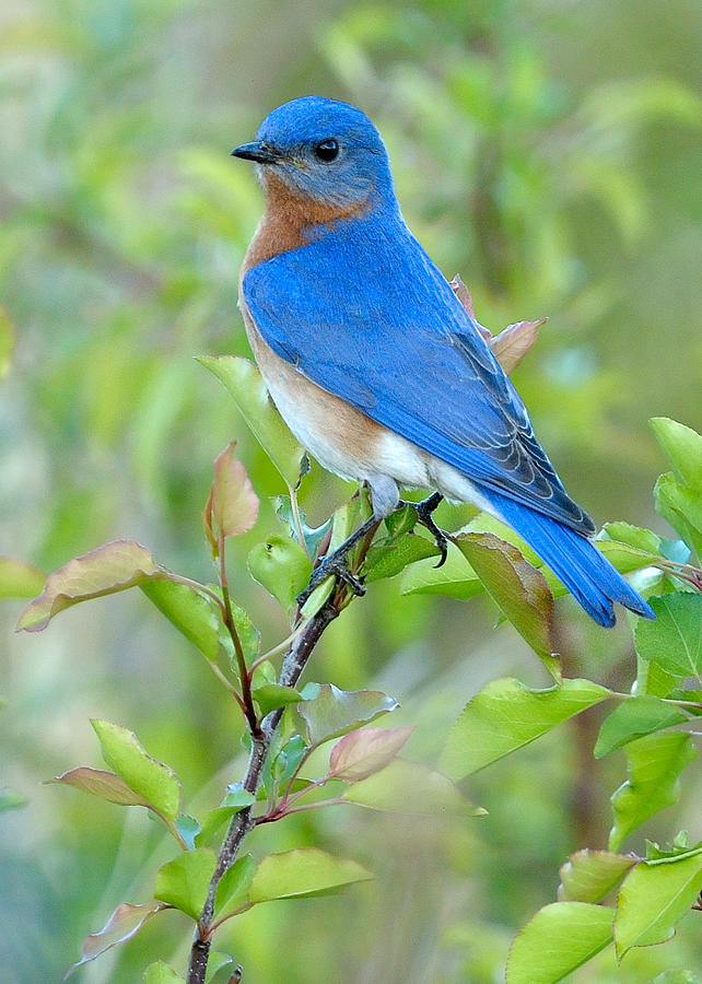 Bluebird Joy Photograph  - Bluebird Joy Fine Art Print