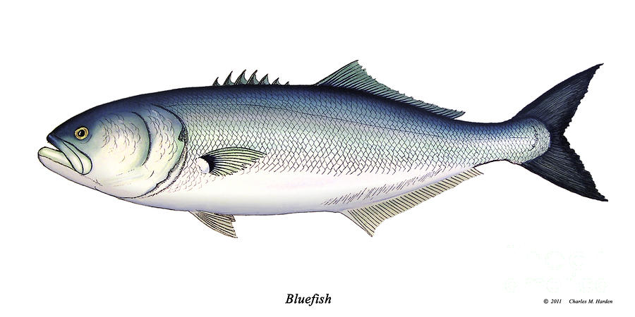 Bluefish Painting  - Bluefish Fine Art Print
