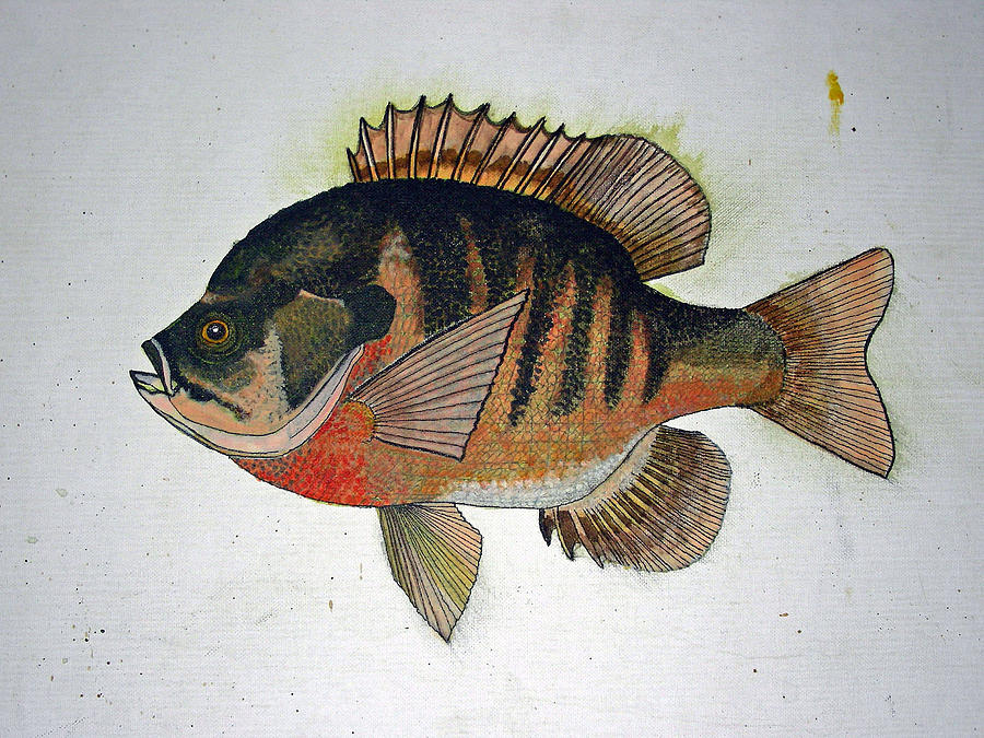 Bluegill Perch Painting  - Bluegill Perch Fine Art Print