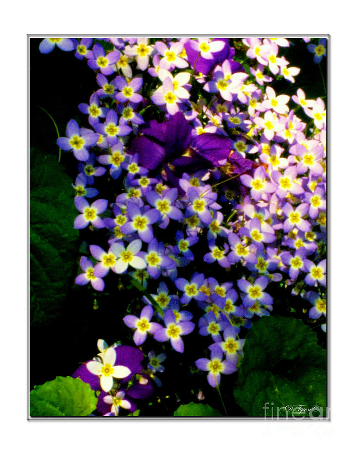 Bluets And Violets Photograph