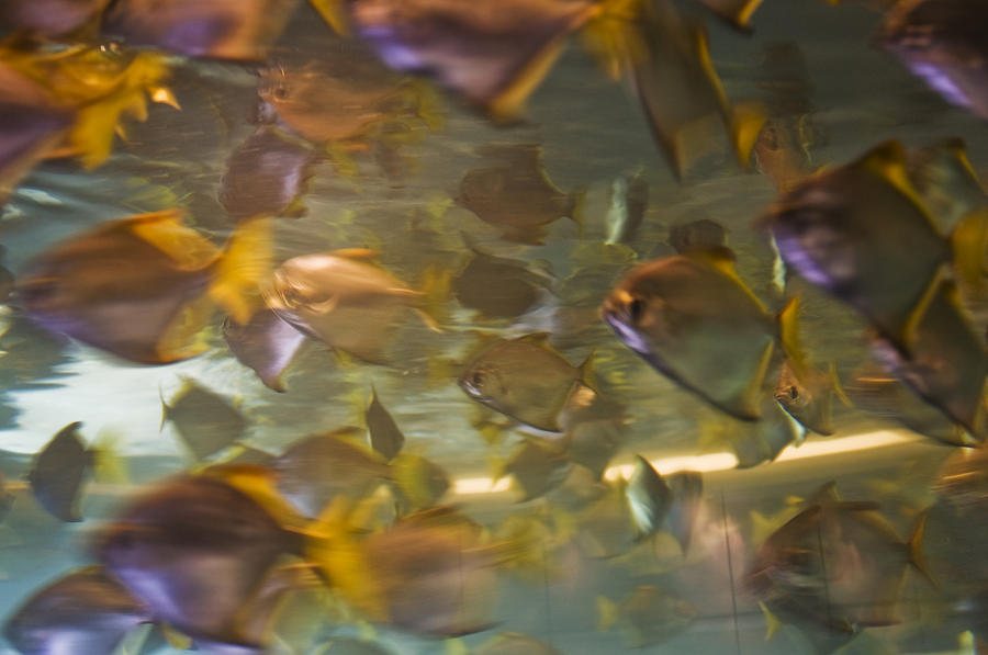 Blurred image of fish swimming in an photograph by todd for Todd s tropical fish