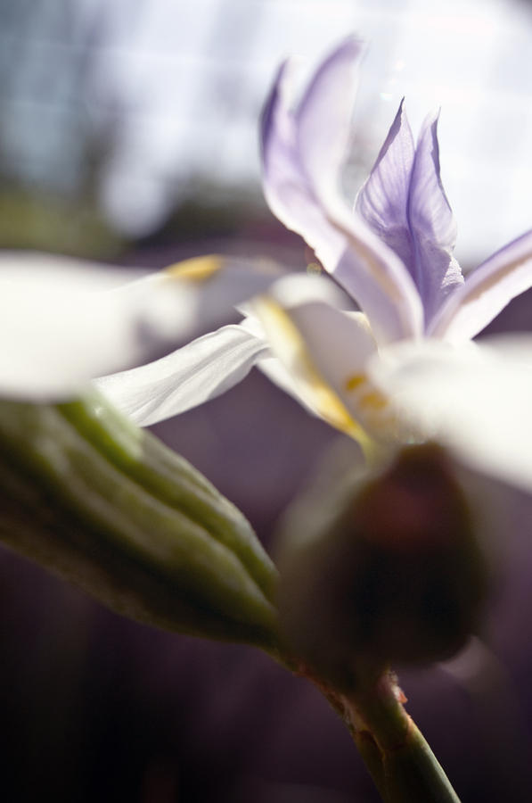 Blurred Iris Photograph