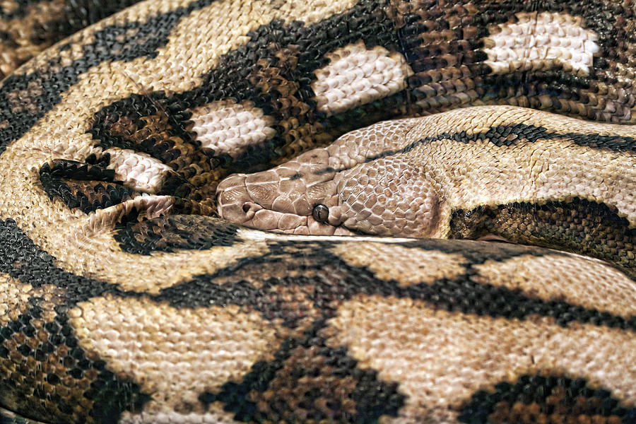 Boa Constrictor Photograph