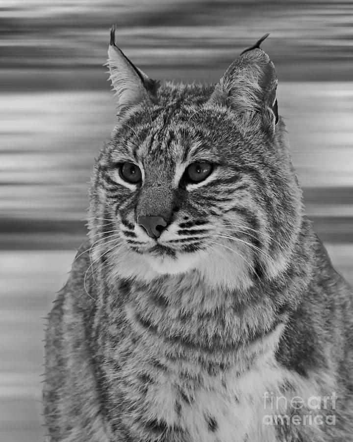 Bobcat Bw Series Photograph  - Bobcat Bw Series Fine Art Print
