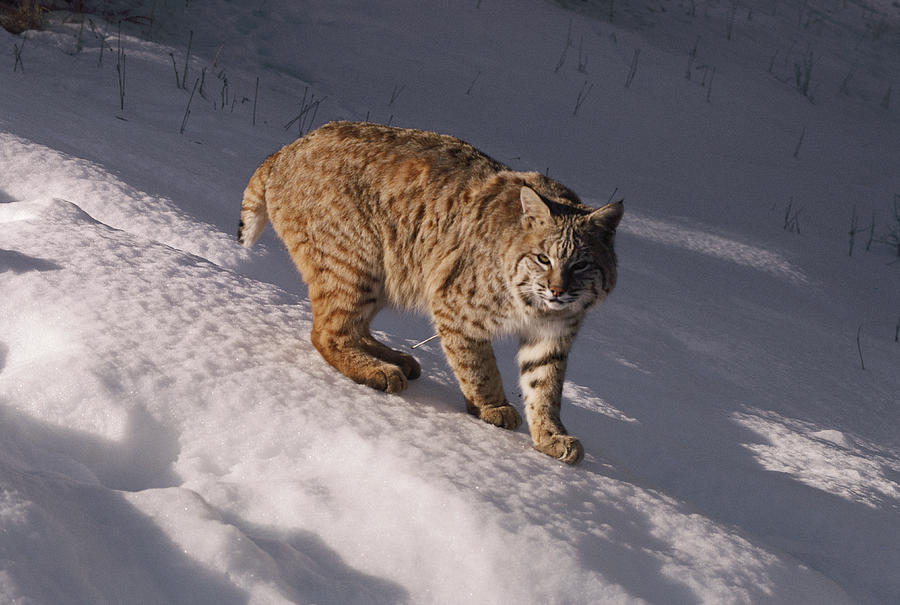 Bobcat Felis Rufus Prowls Over The Snow Photograph  - Bobcat Felis Rufus Prowls Over The Snow Fine Art Print