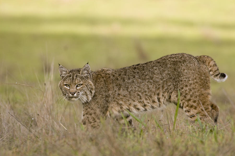 Bobcat Female Walking Santa Cruz Photograph  - Bobcat Female Walking Santa Cruz Fine Art Print