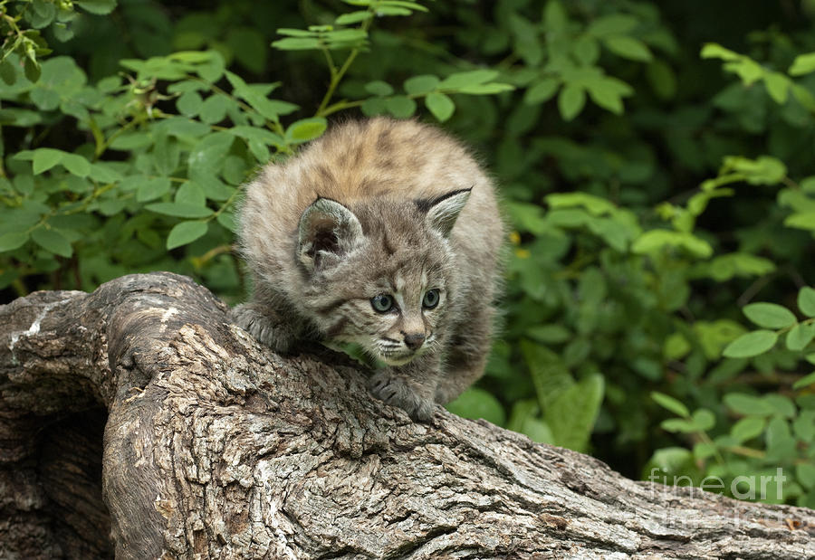 Bobcat Kitten Exploration Photograph  - Bobcat Kitten Exploration Fine Art Print