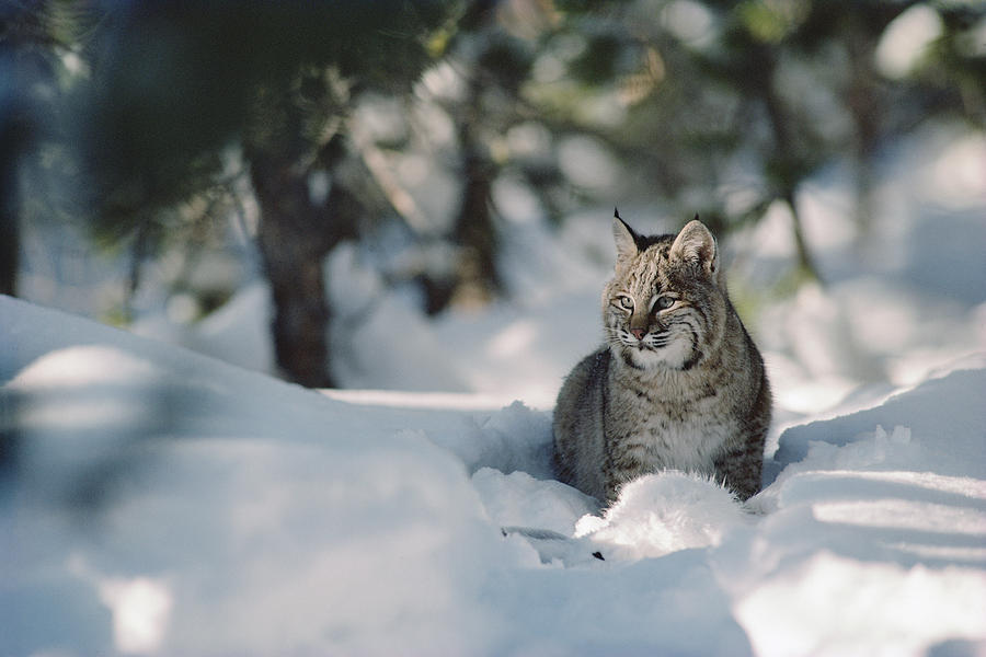 Bobcat Lynx Rufus Adult Resting In Snow Photograph  - Bobcat Lynx Rufus Adult Resting In Snow Fine Art Print