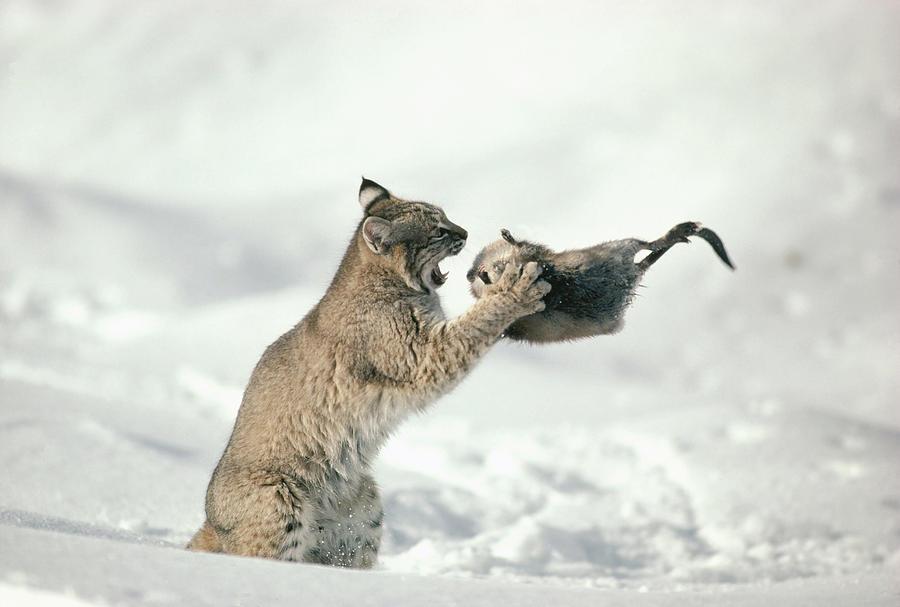 Bobcat Lynx Rufus Capturing Muskrat Photograph
