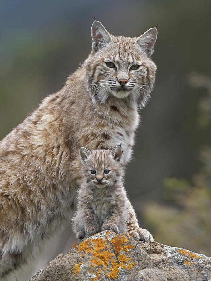 Bobcat Mother And Kitten North America Photograph