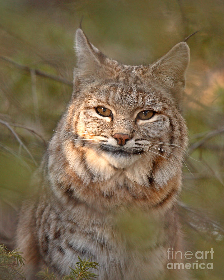 Bobcat Portrait Surrounded By Pine Photograph