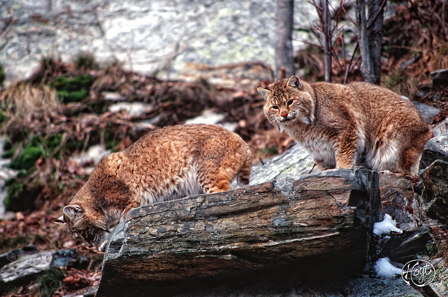Bobcats On The Loose Photograph  - Bobcats On The Loose Fine Art Print