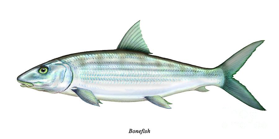 Bonefish Painting  - Bonefish Fine Art Print