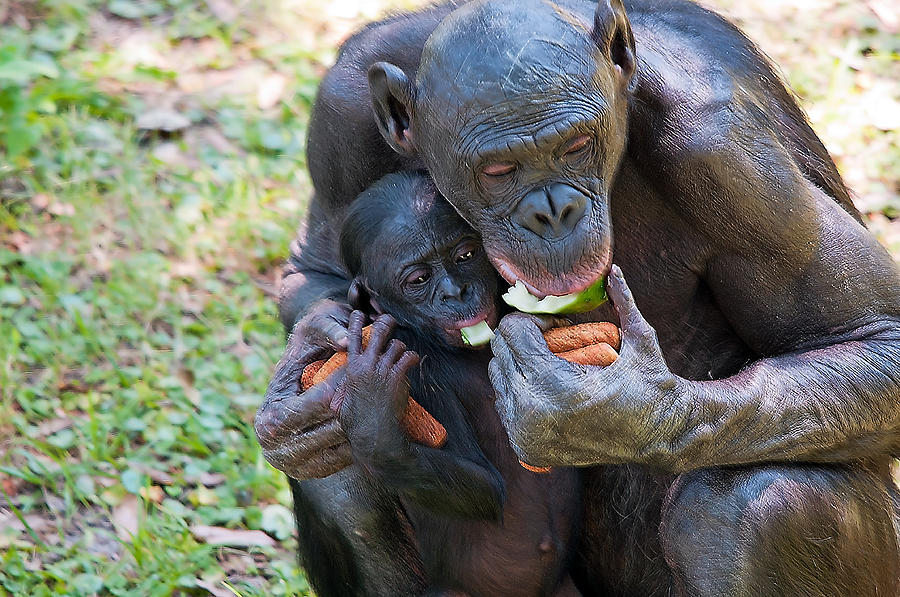 Wildlife Photograph - Bonobo 3 by Kenneth Albin