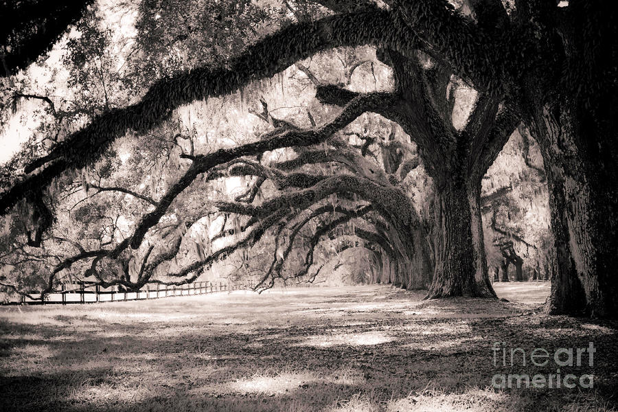 Boone Hall Plantation Live Oaks Photograph