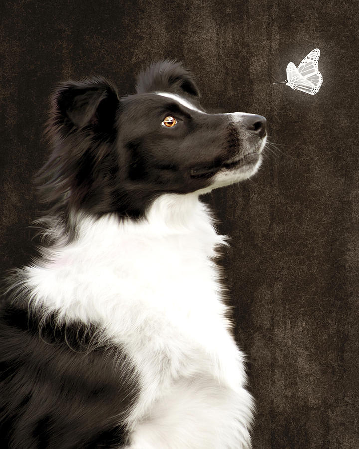 Border Collie Dog Watching Butterfly Photograph  - Border Collie Dog Watching Butterfly Fine Art Print