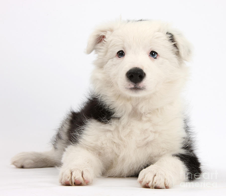 Border Collie Female Puppy Photograph